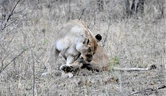 Time to groom. (pstone646) Tags: lioness animal africa bigcat nature wildlife safari fauna feline southafrica
