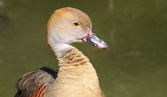 Plumed Whistling Duck 201018 (2) (F) (Richard Collier - Wildlife and Travel Photography) Tags: birds australia australianbirds plumedwhistlingduck