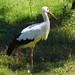 Birmingham Zoo 09-29-2017 - White Stork 3