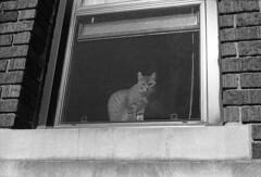 untitled (kaumpphoto) Tags: mamiya nc1000s ilford 3200 cat window street urban city screen brick wall curious look eyes minneapolis stone watch feline portrait