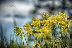 Yellow (THW-Berlin) Tags: plants flowers nature natur blumen pflanzen flora yellow green grass sony