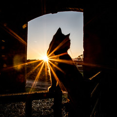 A Barn Cat (Peter D Middleton) Tags: cat sillouette sunset light barn gate