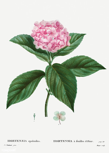 French hydrangea (Hortensia opuloides) illustration from Traité