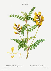 Calophaca wolgarica (Cytisus Wolgaricus) illustration from Trait (Free Public Domain Illustrations by rawpixel) Tags: freeimage pierre redoute redouté antique art arts botanical botany branch calophaca cc0 creativecommons0 cytiseduwolga cytisus drawing element engraved engraving environment fineart flora floral flower graphic graphite historic historical history illustrated illustration leaf name nature painting pierrejoseph pierrejosephredouté plant publicdomain retro sketch sketching traitédesarbresetarbustes tropical vintage wolgarica wolgaricus yellow