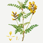 Calophaca wolgarica (Cytisus Wolgaricus) illustration from Trait thumbnail