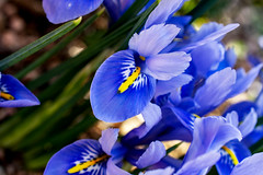 iris (valerie something or other) Tags: raleigh winter flower blue iris arboretum