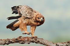 ZIM_6963 (lucvanderbiest) Tags: tawnyeagle savannearend scavengershide zimangaprivatereserve southafrica