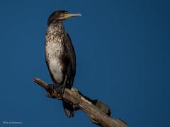 Kormoran..... (wernerlohmanns) Tags: wildlife wasservögel natur nikond750 naturpark nsg nabu outdoor sigma150600c schärfentiefe kormoran