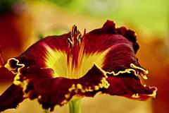 Hemerocallis (prokhorov.victor) Tags: цветок цветы растения флора сад природа
