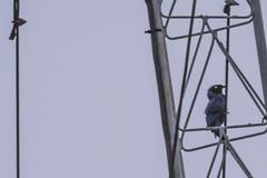 A BIRD ( COUCADOR A LONGUE QUEUE) (Ezio Donati is ) Tags: uccelli birds animali animals natura nature westafrica costadavorio abidjan arealagunes