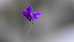 Viola (Torok_Bea) Tags: ibolya viola flowers flower virág beautiful nikon nikond7200 natur nature nikond sigma sigma105 sigma105mm sigmalens