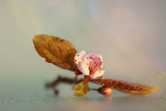 Take a bow ;o) (Elisafox22) Tags: elisafox22 sony ilca77m2 100mmf28 macro macrolens telemacro lens hmm macromondays leaves thefirstletterofmysurname plumblossom plum leaf japaneseplum pink spring elisaliddell©2019