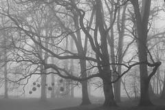 christmas has passed (Mindaugas Buivydas) Tags: lietuva lithuania bw winter december fog mist tree trees oak memelland priekulė priekule sadnature mindaugasbuivydas