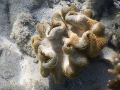 DSCN1759 (slackest2) Tags: clam underwater coral sea great barrier reef fish plants snorkeling queensland australia