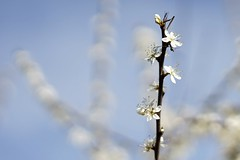 Blossom (Schagie) Tags: bloesem blossom lente spring bloem flower zon sun light licht wit white natuur nature new nieuw beauty mooi sky lucht bokeh