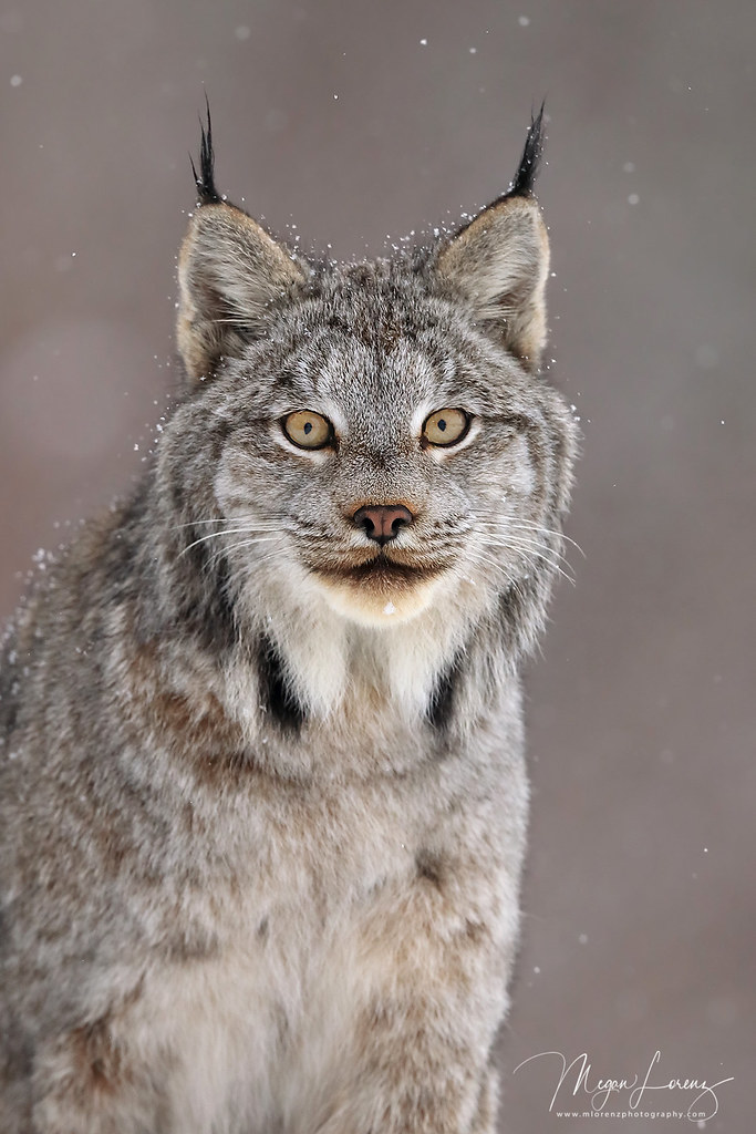 The World's Best Photos of lynx and wildlife - Flickr Hive Mind