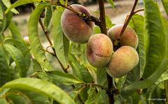 2742  Paraguayos (Ricard Gabarrús) Tags: fruta melocoton paraguayo botanica vegetal fruto ricardgabarrus olympus alimento ricgaba planta arbol