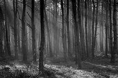 Forest (fotoswietokrzyskie) Tags: nikon d800 forest trees fog mist monochrome blackandwhite ambience landscape nikkor 2470mm
