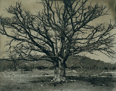 (cedricmarino) Tags: tree wet plate collodion large format 4x5 wista field plan daups bouche du rhone