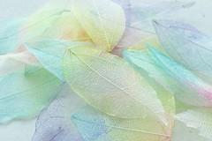 Pastel (tanith.watkins) Tags: skeletonleaves pastel macromondays