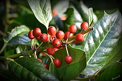 Have a Berry Merry Christmas (Eleanor (No multiple invites please)) Tags: coth coth5 holly berries leaves busheyrosegarden bushey uk nikond7200 105mmmacrolens november2019