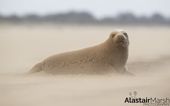 Merry Christmas & A Happy New Year! (Alastair Marsh Photography) Tags: seal seals grey greyseal greyseals coast coastline animal animals beach animalsintheirenvironment britishwildlife britishanimal britishanimals britishmammal britishmammals mammal mammals sand storm windy wind gale force