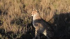 Not distracted (Everyday Glory!!!) Tags: masaimara africa kenya safari gamedrive mara wildlife wild maasaimara maasai