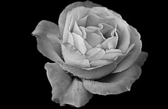 """Tempus fugit"" (PURIFM) Tags: rose flower whiteandblack edition nature flor rosa nikon bw macro garden"