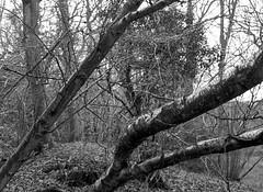 Johnny Bells Lonnen, Mamiya 645E, Tmax 400 in Ultrafin (Jonathan Carr) Tags: trees woodland landscape rural northeast blackandwhite monochrome mediumformat 6x45 mamiya645e