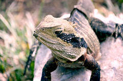 Lizard sits on a rock (Travel Bigworld) Tags: lizard iguana chameleon wildlife wild animal rock