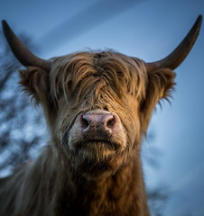 Bad hair day (Bauer Florian) Tags: sony ilce7rm2 fe 50mm f18 highlander nature animal schottisches hochlandrind tier cattle