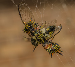 Christmas spiders lunch. (m&em2009) Tags: christmas spiders lunch prey food insect macro cicada colours insects web closeup nikon 60mm lens nature ngf group themacrogroup fantasticnature