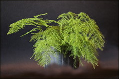Asparagus setaceus, Asparagus plumosus, Common asparagus fern, Lace fern, Climbing asparagus, Ferny asparagus, Ukrasna šparoga, 6965 Bot, (Morton1905) Tags: asparagussetaceus asparagusplumosus commonasparagusfern lacefern climbingasparagus fernyasparagus ukrasnašparoga 6965bot