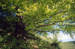 rhn01465F (m-klueber.de) Tags: rhn01465f rhn01465 kuppenrhön frühling landschaft alter berg morles nüsttal buche hutebuche 20050505 mk2005rhoen1 rhön deutschland 2005 mkbildkatalog