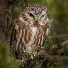 Saw-Whet Owl #2 (lifer) (Kevin E Fox) Tags: sawwhetowl owl cute bird birding birdwatching birds birdofprey nature nikond500 nikon newjersey sigma150600sport sigma lifer