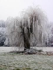 Larmes suspendues (Le Lutin d'Ecouves) Tags: arbre saule pleureur hiver givre blanc froid