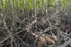 Pran Buri mangrove (sillie_R) Tags: mangrove nationalpark pranburi pranburimangrove thailand prachuapkhirikhan th