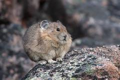 Pika (Turk Images) Tags: jaspernationalpark ochotonaprinceps rockrabbit alberta mammals ochotonidae pika fall mountains