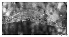 Photo de 2008. (christophe.leroy19) Tags: noiretblanc noirblanc nb blackandwhite blackwhite bw spider spirders arraignee arraignees toiledarraignee toile