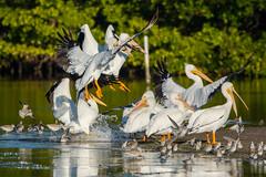 Looks like a cluster...landing to me (ChicagoBob46) Tags: americanwhitepelican whitepelican pelican bird jndingdarlingnwr florida sanibel sanibelisland nature wildlife coth5 ngc naturethroughthelens npc