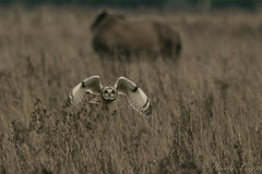 Short Eared Owl-2666 (WendyCoops224) Tags: 100400mml 80d fens winterwatch canon eos ©wendycooper short eared owl asio flammeus