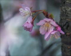 cherry blossom by a (modified) Agfa®-Agomar P-lens (tuvidaloca) Tags: studie selbstbauoptikaufagomarbasis 85mm estudio study homemadelensagomarbased experimental experimentell slightlycropped leichtbeschnitten