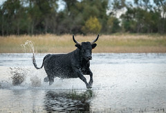 The Tail that Wags the Bull (MrBlackSun) Tags: blackbull black bull camargue southfrance nikon d850