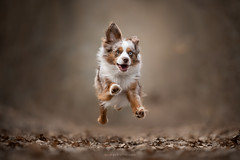 Y O U H O U !!! (Audrey Bellot Photographie) Tags: dog action happy jumping cute mini aussie red merle eyes autumn colors happiness flying little crazy
