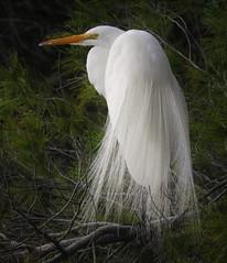 Windblown great egret. (Ruby 2417) Tags: white egret shorebird bird wildlife nature feathers wind tree davis