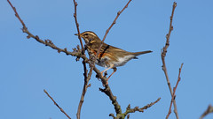 Redwing (2/4) : my winter visitors (2018) (Franck Zumella) Tags: redwing red wing bird oiseau rouge rousse grive mauvis visitor visiteur hiver winter blue sky ciel bleu tree arbre nature wildlife animal thrush