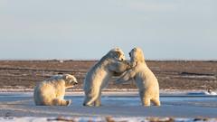 The Brawlers and the Back-Biter (Glatz Nature Photography) Tags: nature snow ice arcticalaska bear mammal animal wildanimals wildlife nikond850 glatznaturephotography kaktovik barterisland alaska arctic ursusmaritimus polarbear