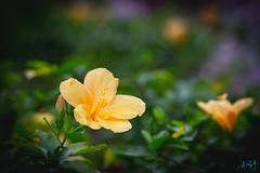 花 (迷惘的人生) Tags: 中正區 臺北市 中華民國 tw canon 5d3 5dⅲ 135l 135mm 中正紀念堂 花 flower
