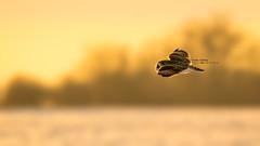 Short eared owl (idvisions) Tags: aquaticbird wildlife wetlands wetland wings explore thewonderfulworldofbirds outdoor interestingness bird birds birdinflight owl owls light canoneos7d shortearedowl