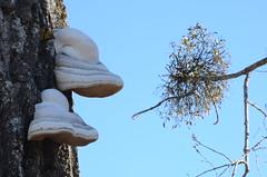 La curée (RarOiseau) Tags: alpesdehauteprovence paca arbre champignon peuplier gui plante ciel saariysqualitypictures v1000